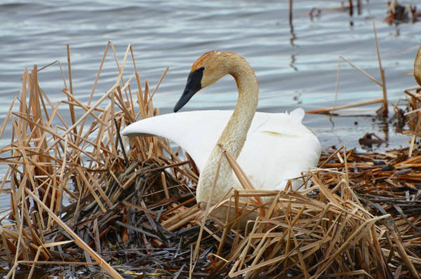 Horicon Marsh Photograph - Trumpeter Swan by Chris Tennis