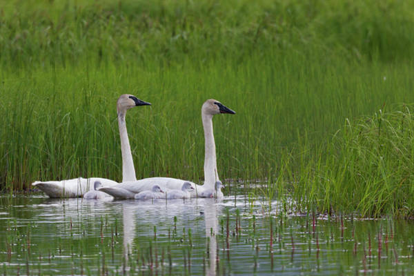Cygnus Photograph - Trumpeter Swan Family by Ken Archer