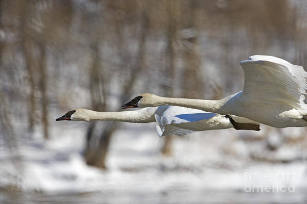 Swan Neck Photograph - Trumpeter Swan Flyby  by Tim Grams