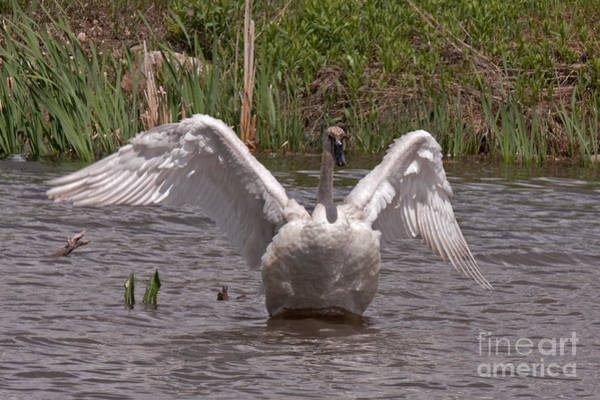 Photograph - Trumpeter Swan by Fred Stearns