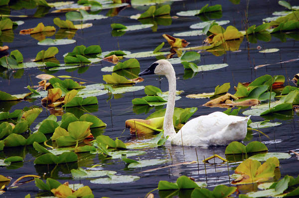 Swan Neck Photograph - Trumpeter Swan In Lily Pods, Chugach by Michel Hersen