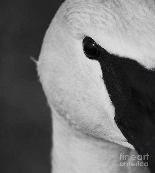 Photograph - Trumpeter Swan Macro by Sue Harper