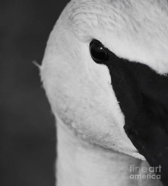 Photograph - Trumpeter Swan Macro by Sue Harper