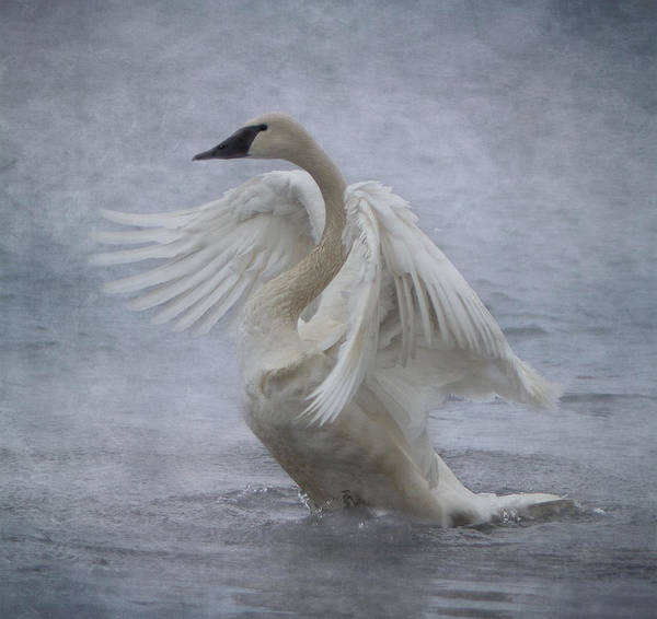 Swan Neck Photograph - Trumpeter Swan - Misty Display by Patti Deters