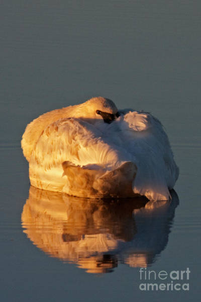 Photograph - Trumpeter Swan On Swan Lake by Fred Stearns