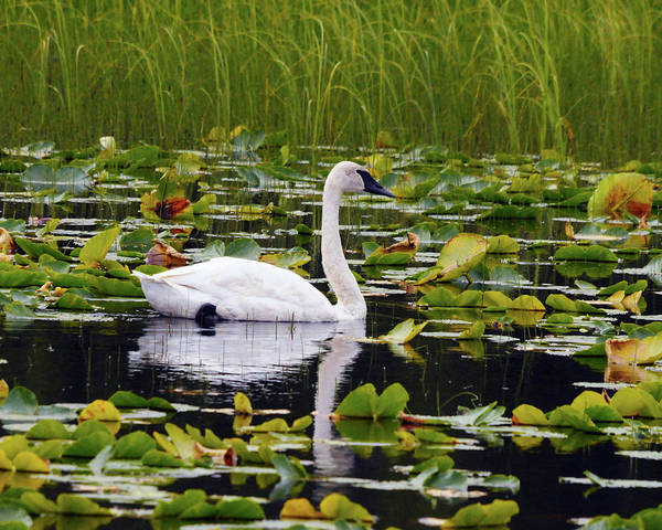 Swan Neck Photograph - Trumpeter Swan Swimming In Lily Pods by Michel Hersen