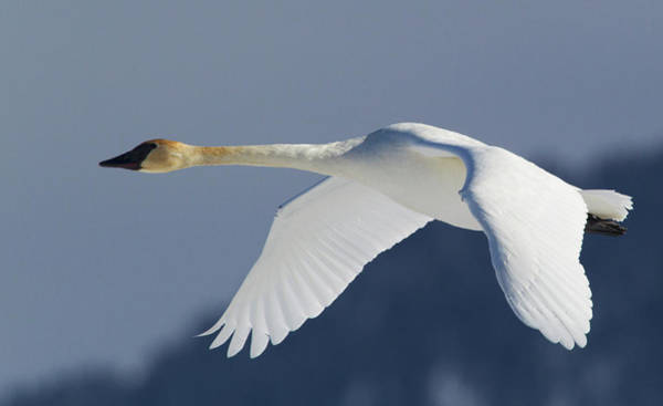 Trumpeter Swan, Winter Flight Art Print by Ken Archer