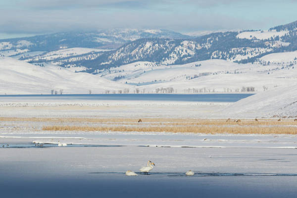 Cygnus Photograph - Trumpeter Swans And Elk, Winter by Ken Archer