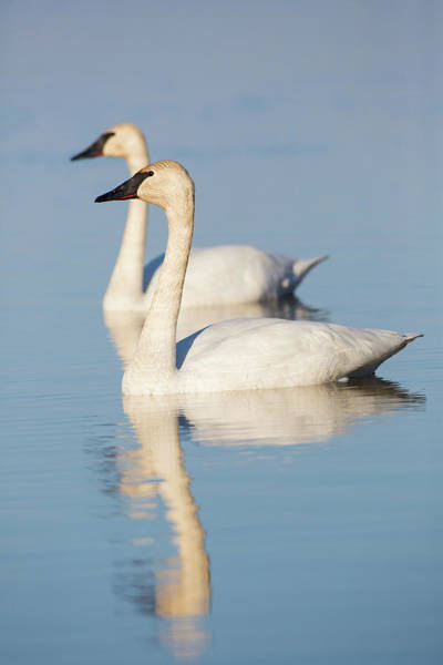 Trumpeter Swan Wall Art - Photograph - Trumpeter Swans Cygnus Buccinator by Animal Images
