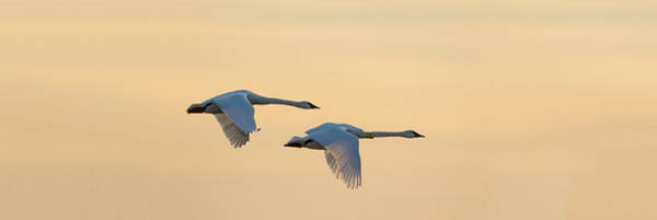 Wall Art - Photograph - Trumpeter Swans In Flight At Sunset by Animal Images