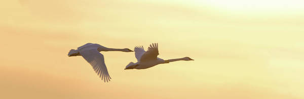 Trumpeter Swan Wall Art - Photograph - Trumpeter Swans In Flight At Sunset by Panoramic Images