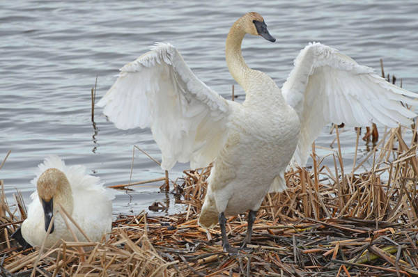 Horicon Marsh Photograph - Trumpeter Swans Mated Pair by Chris Tennis