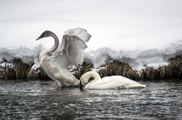 Firehole River Wall Art - Photograph - Trumpeter Swans Yellowstone National by Doug Steakley
