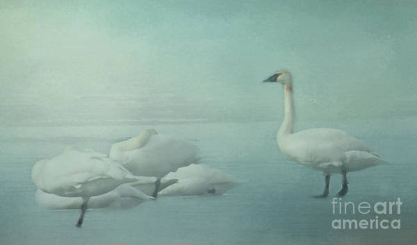 Photograph - Trumpeter's On Frozen Lake by Pam  Holdsworth
