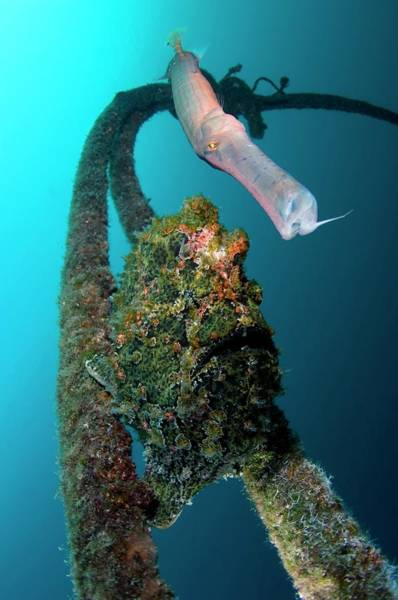 Wall Art - Photograph - Trumpetfish And Frogfish by Scubazoo/science Photo Library