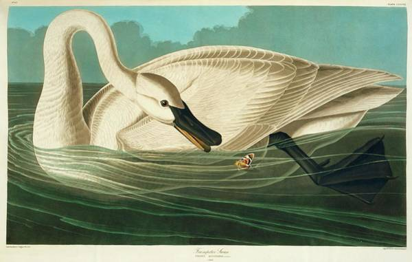 Swan Neck Photograph - Trumpter Swan by Natural History Museum, London/science Photo Library
