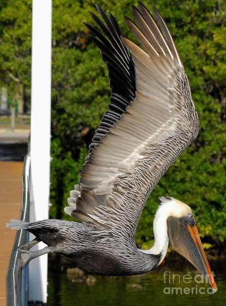 Brown Pelicans Photograph - Trust Fall by Quinn Sedam
