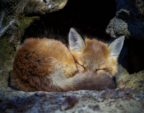 Photograph - Fox Kit - Trust by John Vose