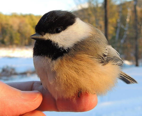 Chickadees Photograph - Trust by Mim White