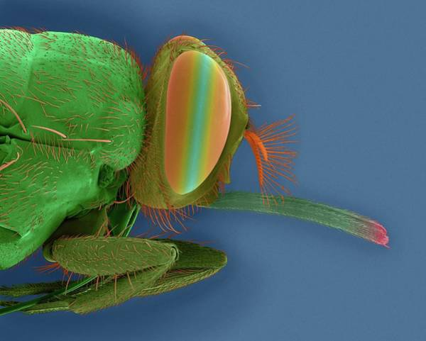 Compound Eyes Photograph - Tsetse Fly Head by Dennis Kunkel Microscopy/science Photo Library