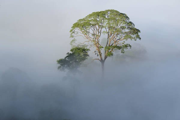 Lee Photograph - Tualang Tree Above Rainforest Mist by Ch'ien Lee