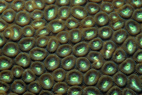 Tube Anemone Photograph - Tube Anemone by Matthew Oldfield/science Photo Library