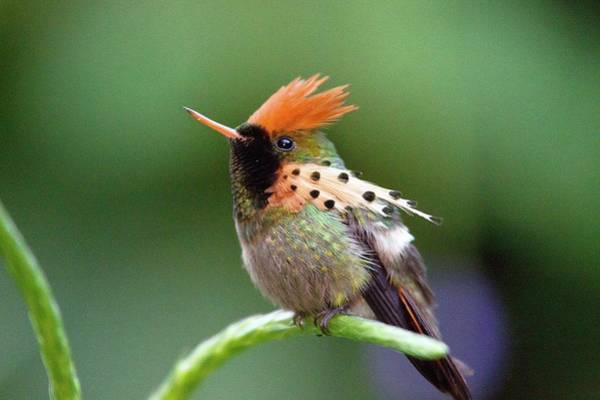 Trinidad Wall Art - Photograph - Tufted Coquette Hummingbird by Bob Gibbons