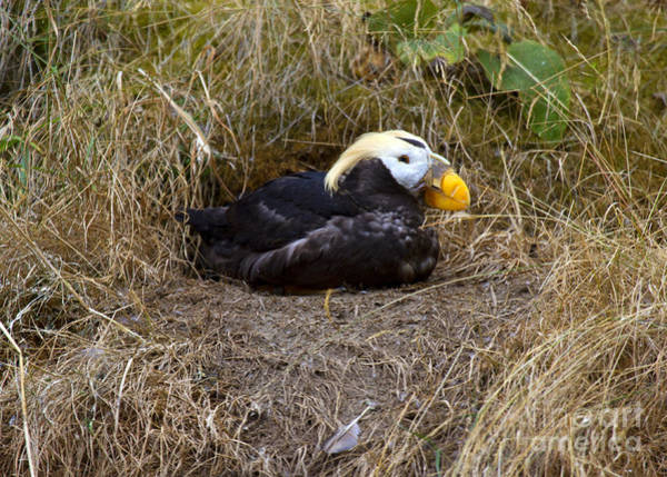 Nesting Photograph - Tufted Puffin by Mike  Dawson