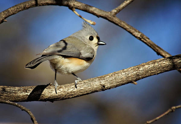 Wildbird Photograph - Tufted Titmouse - 1 by Lana Trussell