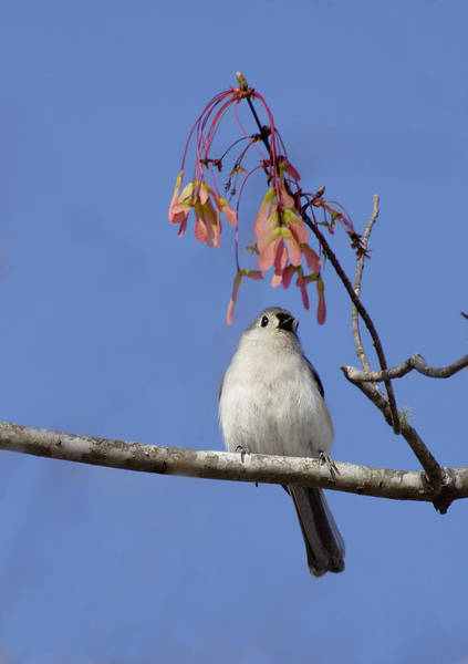 Photograph - Tufted Titmouse And Maple Keys by Daniel Reed