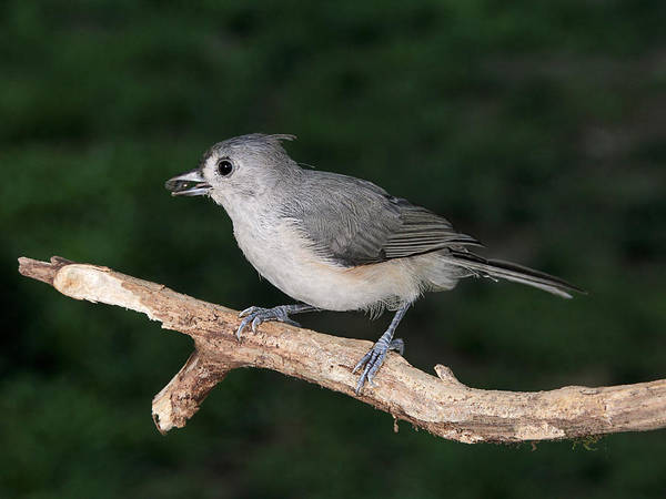 Photograph - Tufted Titmouse And Seed by Theo