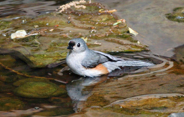 Photograph - Tufted Titmouse In Pond by Sandy Keeton