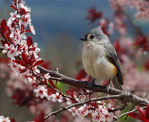 Photograph - Tufted Titmouse On Ornamental Plum Blossoms by Lara Ellis