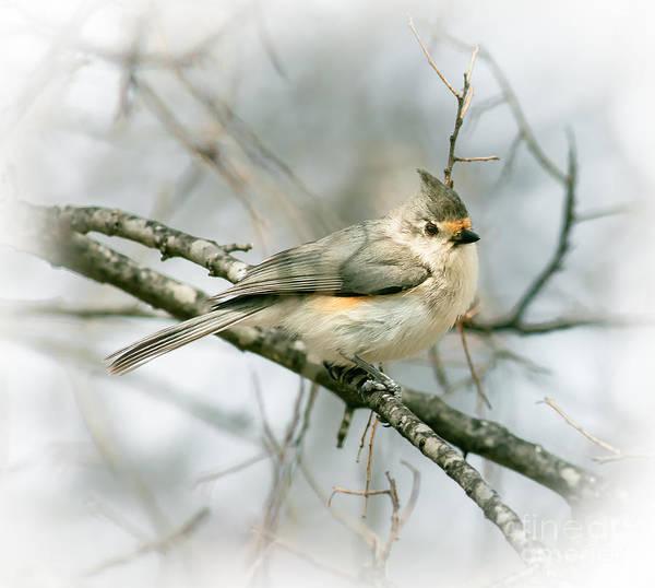 Bird Watcher Photograph - Tufted Titmouse by Robert Frederick