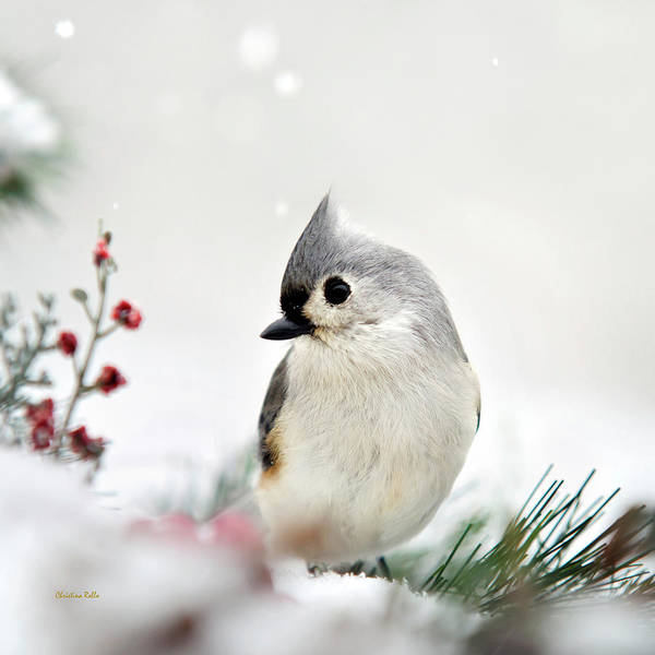 Photograph - Titmouse Bird Square by Christina Rollo