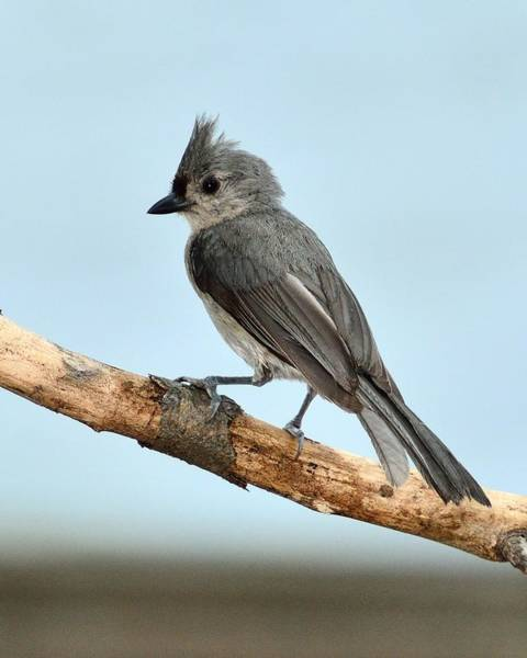 Photograph - Tufted Titmouse by Walt Sterneman