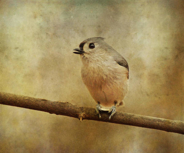 Photograph - Tufted Titmouse With Seed by Sandy Keeton