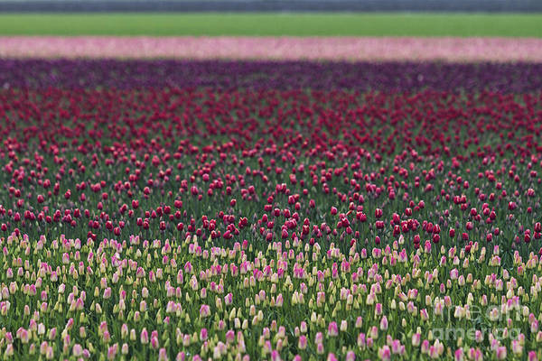Photograph - Tulip Abstract by Mark Kiver