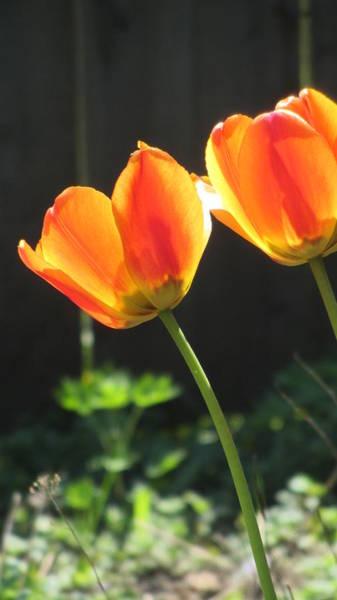 Photograph - Tulip Backlit 13 by Anita Burgermeister