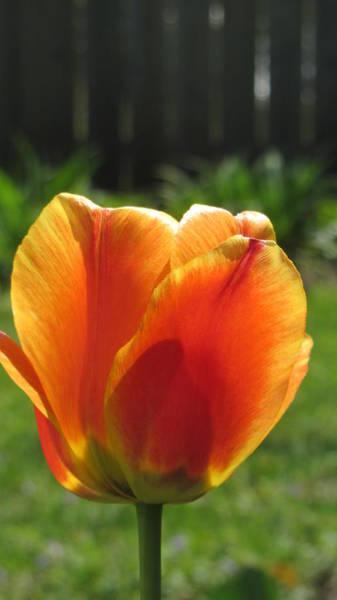 Photograph - Tulip Backlit 9 by Anita Burgermeister