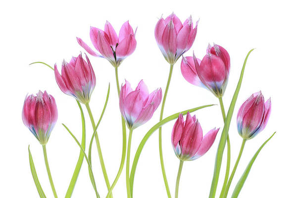 Tulip Wall Art - Photograph - Tulip Blush by Mandy Disher