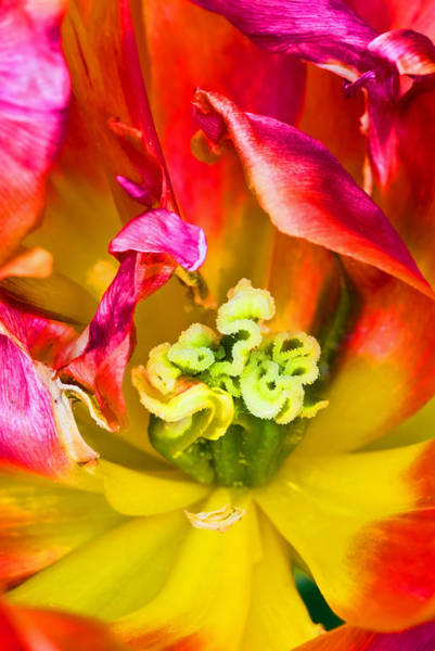 Photograph - Tulip Close Up by Pete Hemington