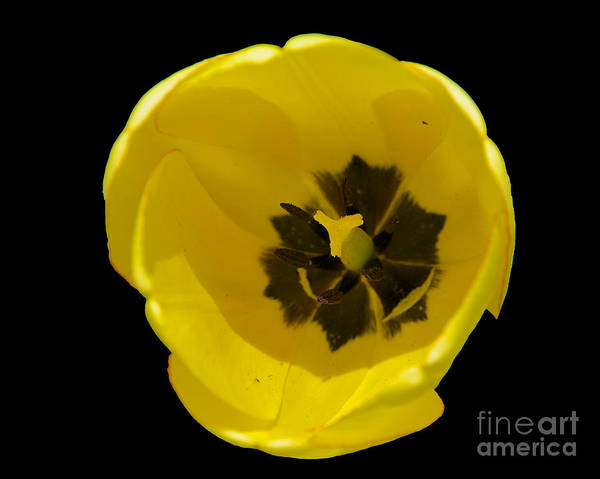 Photograph - Tulip Closeup by Mark Dodd