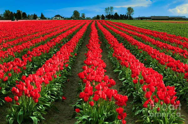 Mount Vernon Photograph - Tulip Cornucopia by Inge Johnsson