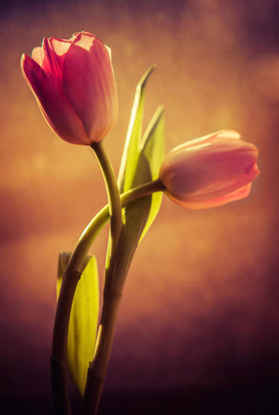 Nature Wall Art - Photograph - Pink Tulips by Jaroslaw Blaminsky