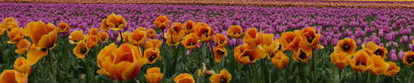 Vernon County Photograph - Tulip Explosion by Don Schwartz