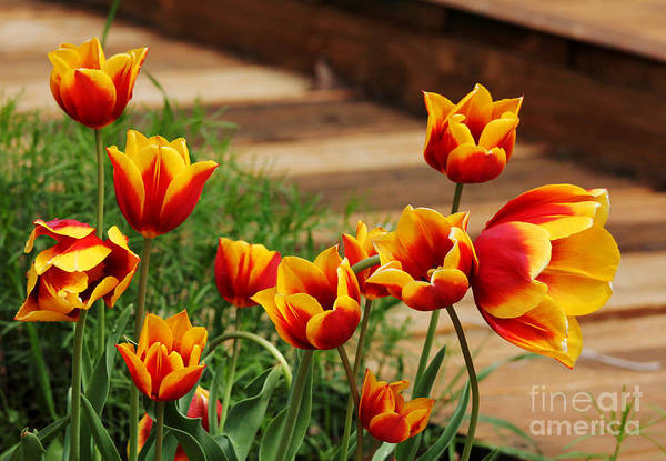 Photograph - Tulip Family by Trina  Ansel