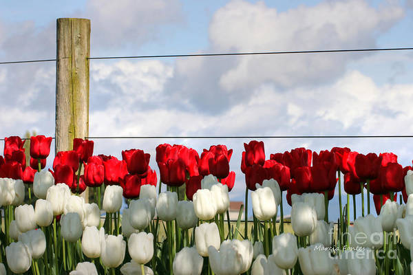 Photograph - Tulip Farm - Pacific Northwest Washington State by Tap On Photo