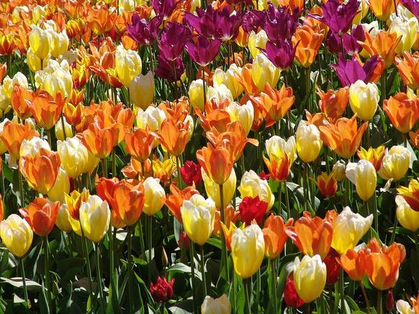 Vancouver Mixed Media - Tulip-fest by Janet Ashworth