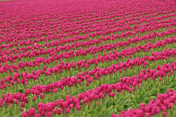 Photograph - Tulip Festival In Mount Vernon by Peggy Collins